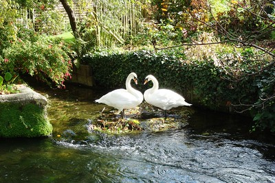 7 - Swans in Winchester - Liz Greenberg