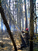 Fire trees present unique problems for sawyers trying to bring them down safely.