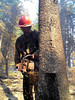 Work as a sawyer is highly demanding physically, and a bit dangerous working around damaged trees in burned over areas.