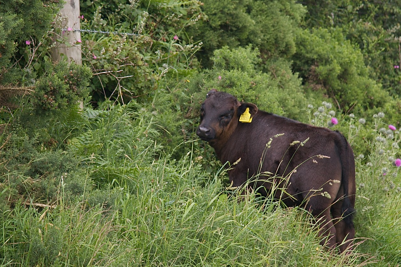 Calf • Just for Leah, a calf among the undergrowth along the coastal path near where we were staying.