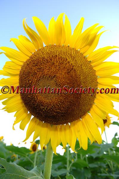 A.C.E. Sunflowers After Hours