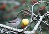 12-27-07 Bird in Apple Tree