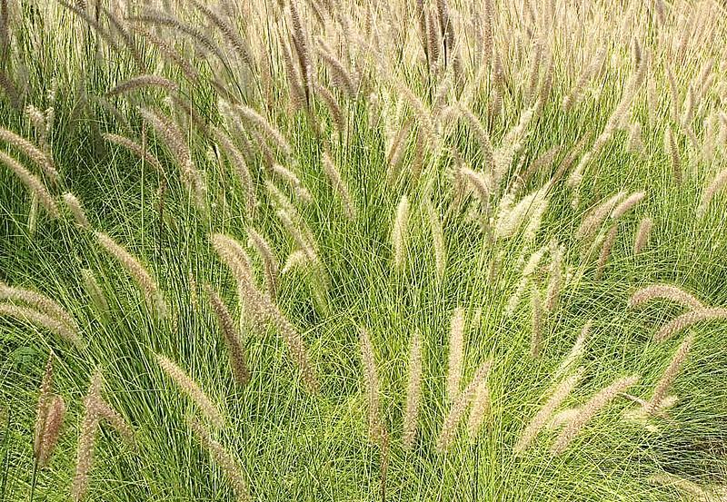 Grass in Dubai.