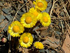 Colt's Foot (Tussilago Farfara).  The stalks have redish scales. The bristly flowers have numerous yellow rays and many layers. It's one of the earliest appearing spring flowers and loves wet, waste areas (notably ditches). <br /> 12:06 R