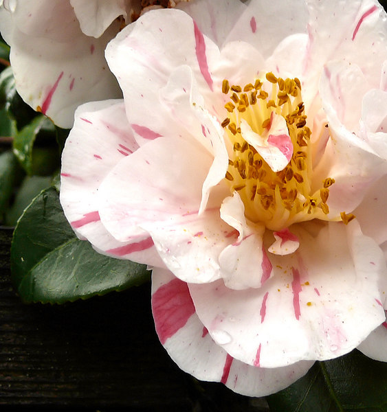Wed 02-07-07 - Camellia
