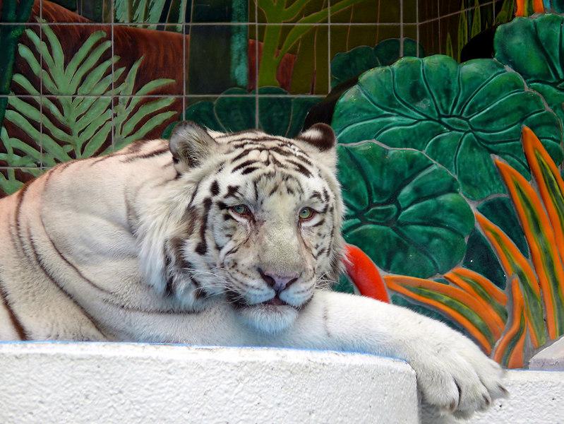 02-07 Las Vegas - White Tiger at The Mirage