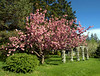 Cherry tree in bloom in the Annapolis Valley, Nova Scotia, Canada.