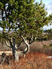 A very old Scotch Pine at Prospect Bay, Nova Scotia. Canada.<br /> January 2007.