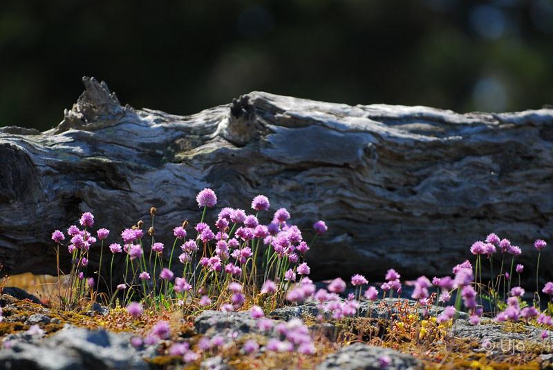 Gräslökens blommor är som vackrast så här års...