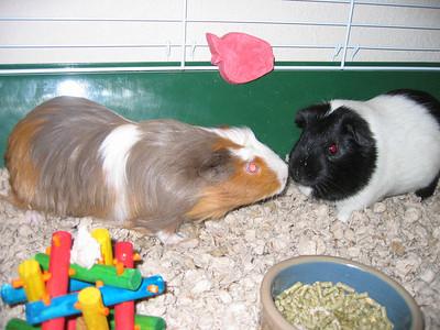 Guinea Pigs - April 2007