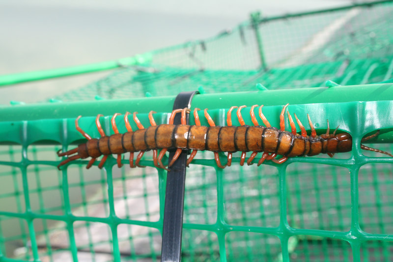 Large centipede on our duck trap