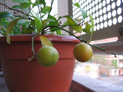 20070607-Balcony Kangaroo Paw and Oranges