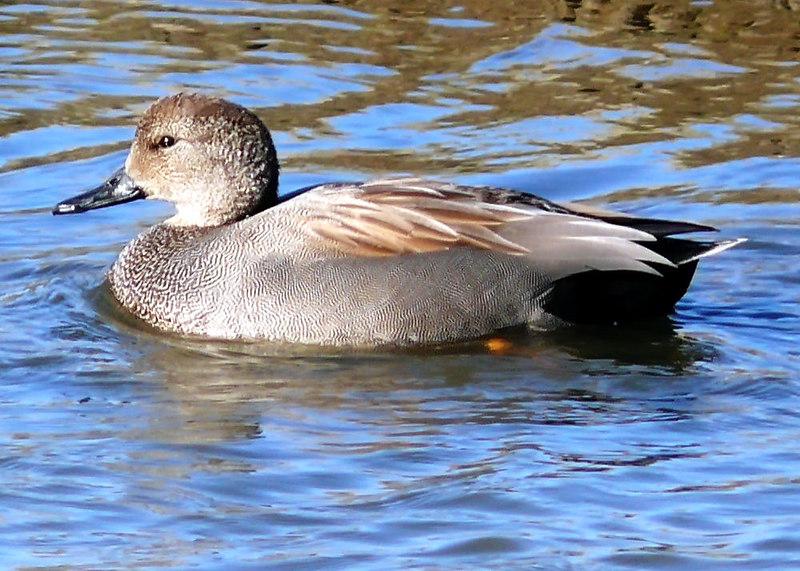 Wed 01-10-07 Duck Hen