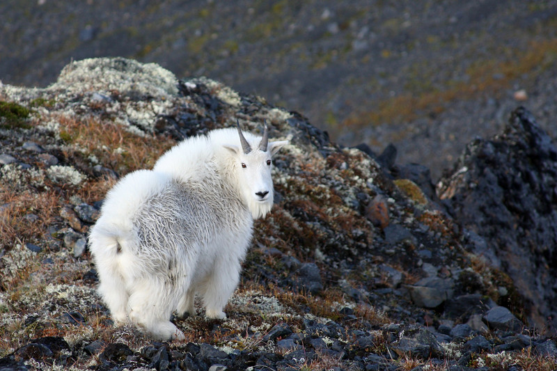 A mountain goat hesitates in his escape from the camera, Jewel Mt.