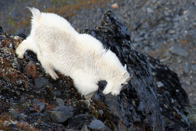 This mountain goat gets away, running easily over the steep terrain and down a cliff face to safety.
