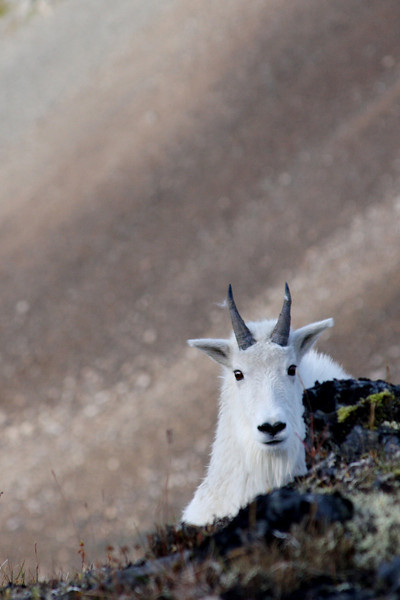 A curious mountain goat investigates the photographer on Jewel Mt.