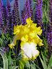 6-9-2007 Boulder-Yellow Iris