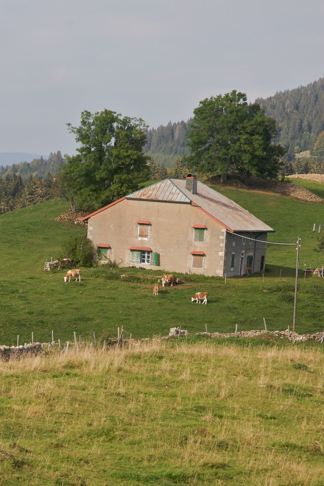 Alpine cows • Cows in front of a farmhouse in La Cure. The cows wear the expected Alpine cow bells.