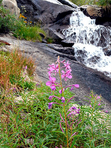 Fireweed between 1st and 2nd Wonder Lake.