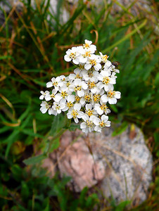"""John Muir called wild flowers """"Gentle mountaineers, face to face with the stormy sky, kept safe and warm by a thousand miracles.""""  Yarrow."""
