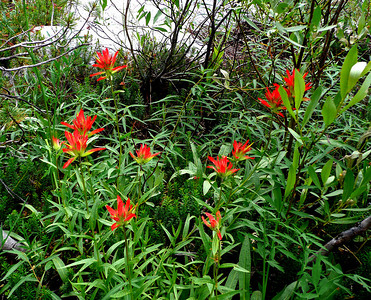 Indian Paintbrush in the Wonder Lakes area.