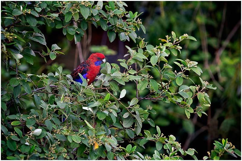 Sydney, Saturday 3rd March 2007. <br /> <br /> A Crimson Rosella provides a touch of colour in a sea of green leaves. <br /> <br /> <br /> EXIF DATA <br /> Canon 1D Mk II. EF 70-200mm f/2.8L@200mm 1/200 f/5 ISO 400.