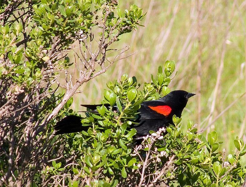 03-29-07 Tennessee Valley - Redwing Blackbird