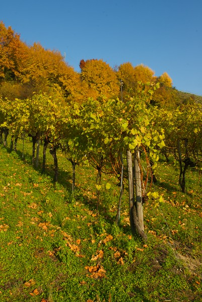 Vines in Autumn • Vines at the base of Mont Vully.