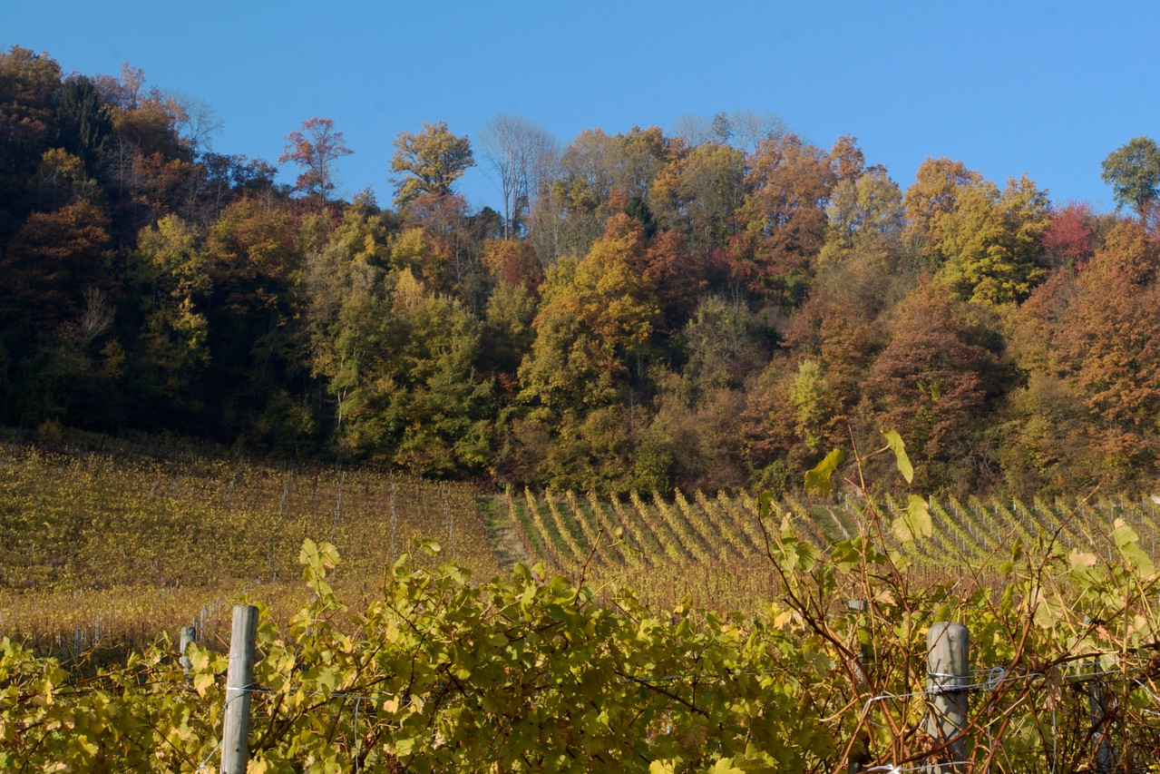 Mont Vully • The vineyards at the base of Mont Vully, in the Canton of Fribourg.