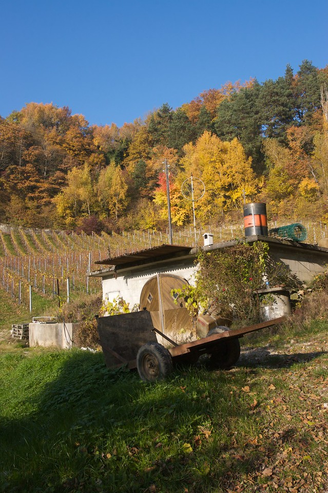 Autumn colours • Vines at the base of Mont Vully.