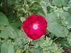 surprise rose bush June 13th