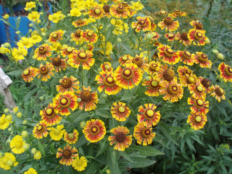 Hm... I forget what these are called but aren't they pretty? August 10th 2007
