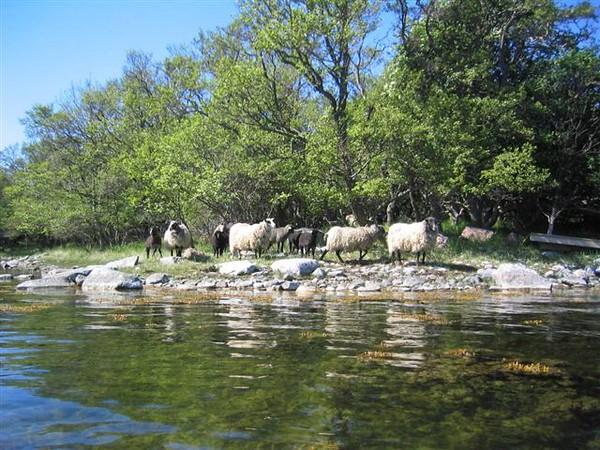 Vi passerade dessa får, så att Sven skulle känna sig som hemma