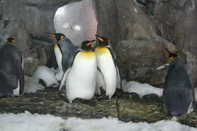 New Zealand,North&South Islands, King Penguins, Auckland - Marian MacFarlane (96)