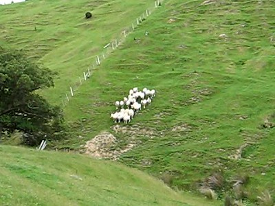 Video: Sheep Being herded (by Willie Johns and his dog) at Paua Bay Farm outside Akaroa