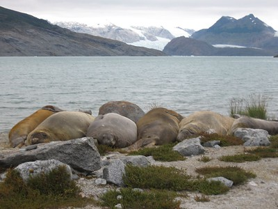 Elephant seals with glaciers - Andrew Gossen