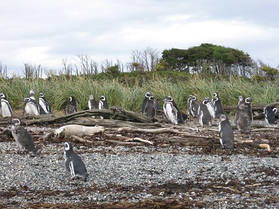 Magellanic penguin colony - Andrew Gossen