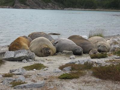 Elephant Seals - Andrew Gossen