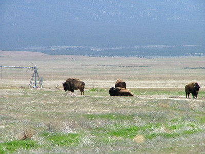Skull Valley - Buffalo at Goshute Indian Reservation