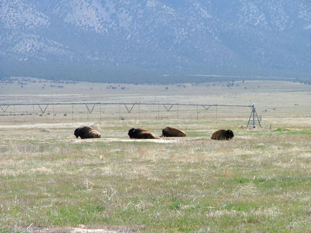 Skull Valley - Buffalo at Goshute Indian Reservation