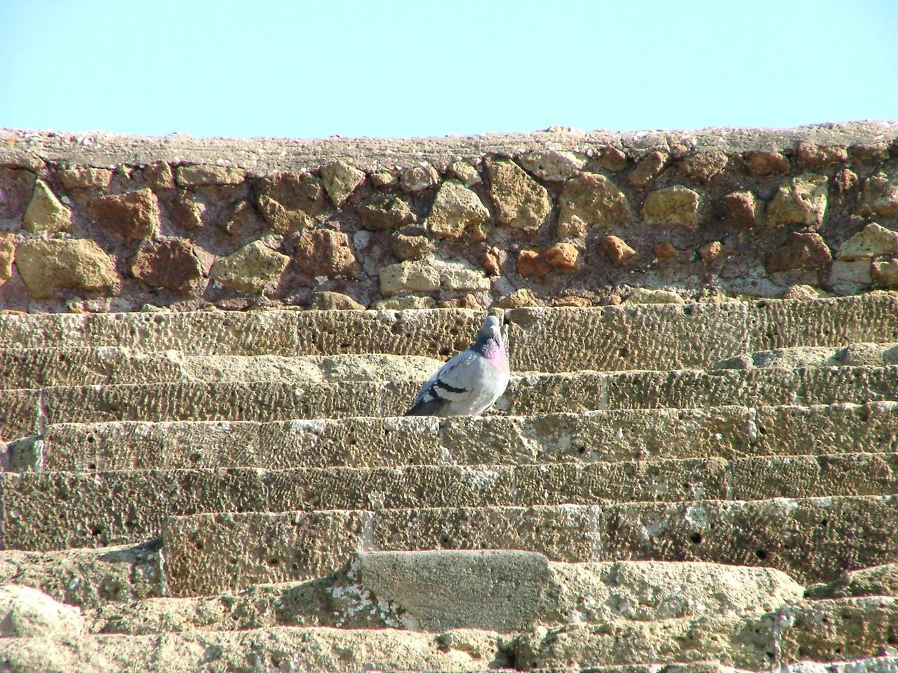 Ostia Antica pigeon