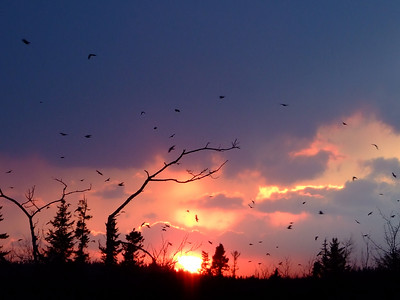 Crows on their way to roost