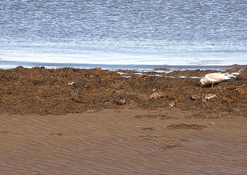 Sandpipers<br /> <br /> Cap Des Cassie, New Brunswick