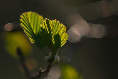 Ja, visst är bilden tagen många gånger förut, men det är ändå något speciellt med vårens blad