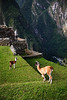 llamas and man machu picchu peru