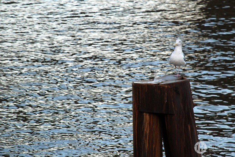 Seagull on the Waterfront