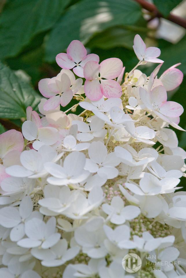 Pink among White
