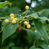Yellow Berries Red