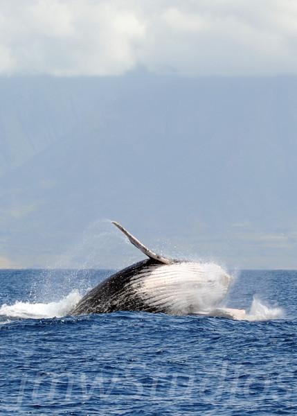 2008 Maui Whales (5)