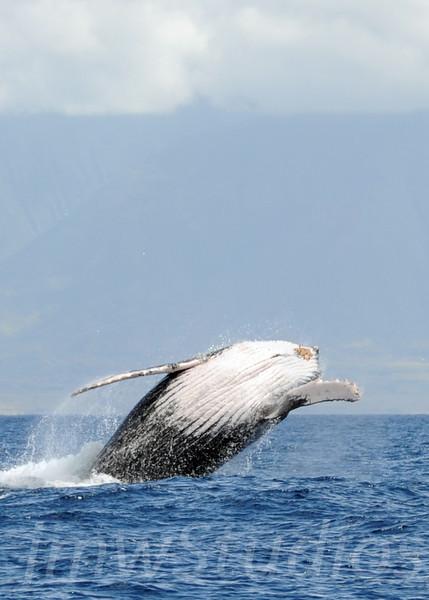 2008 Maui Whales (4)